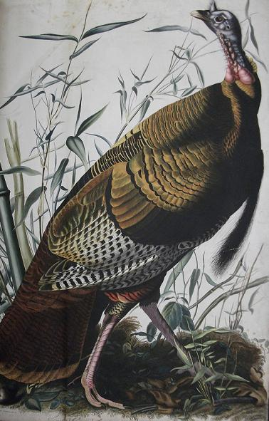 "Wild turkey (JJ Audubon's ""Birds of America)"