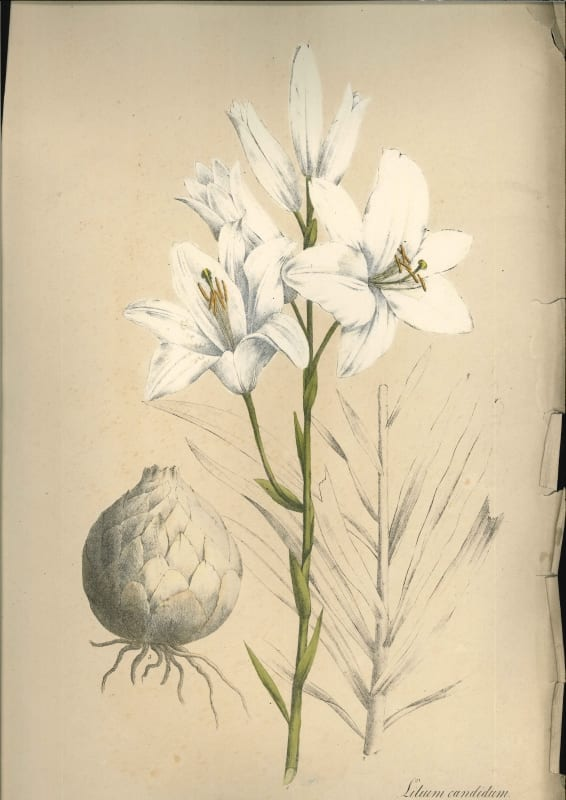 Lilium Candidum, or the Madonna lily