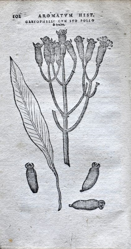 Illustration from Aromatum by Carlos Clusius, 1567
