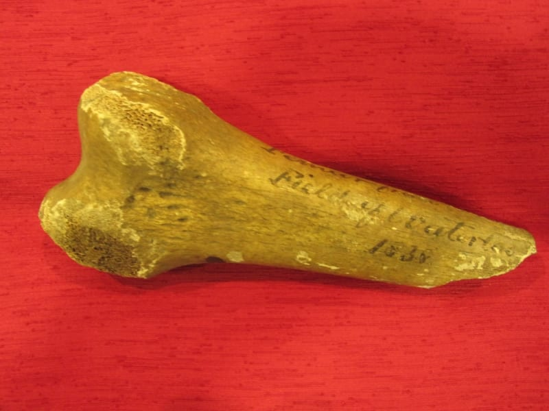 Femur bone found at the battlefield of Waterloo in 1838