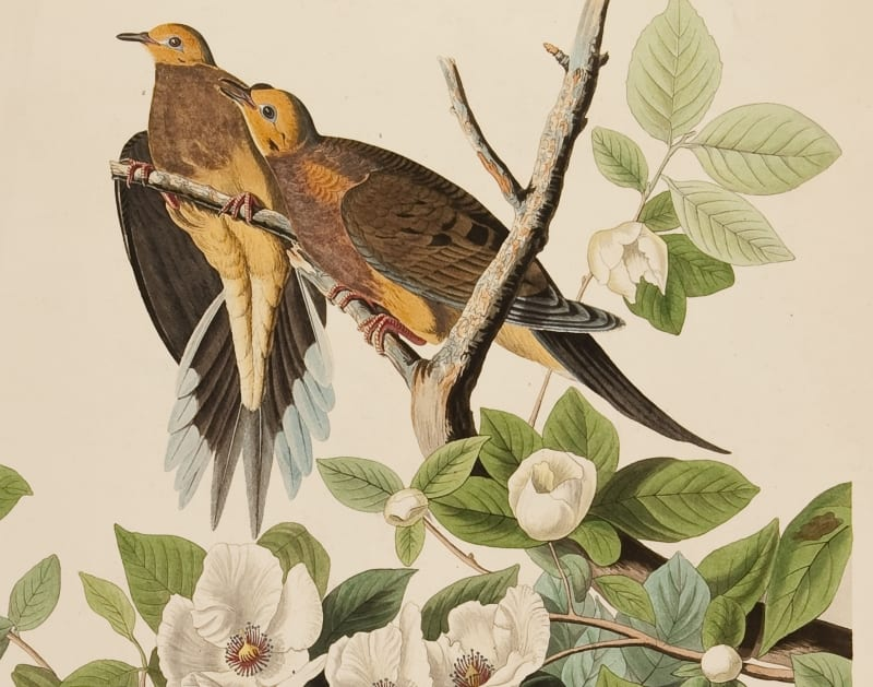 "Turtle Doves, from pl. 17 of J. J. Audubon's ""Birds of America"""