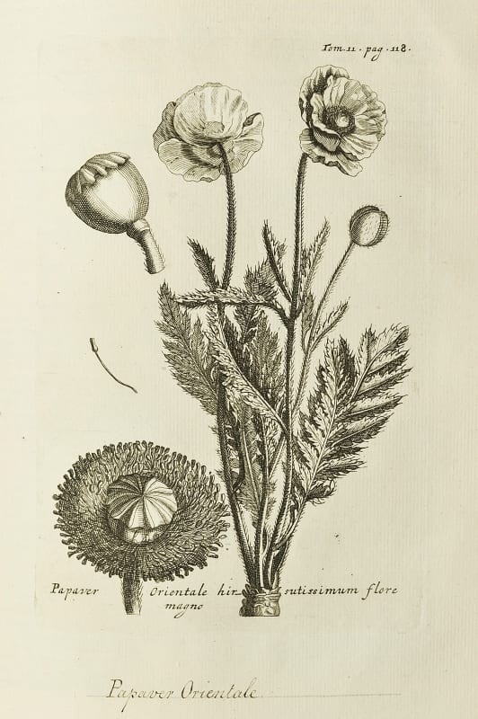Illustration of oriental poppy taken from Relation d'un voyage du Levant by Joseph Tournefort, 1718.